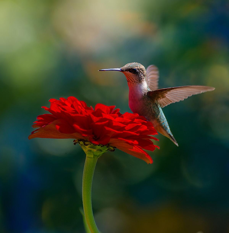 пчелиный колибри картинки чего