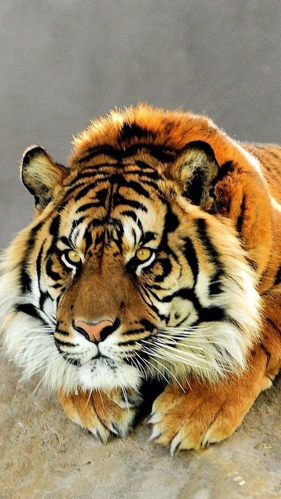 Какой внимательный взгляд. фотография, тигр, взгляд