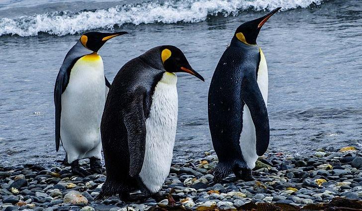 этом императорский пингвин фото мишка поможет ребенку