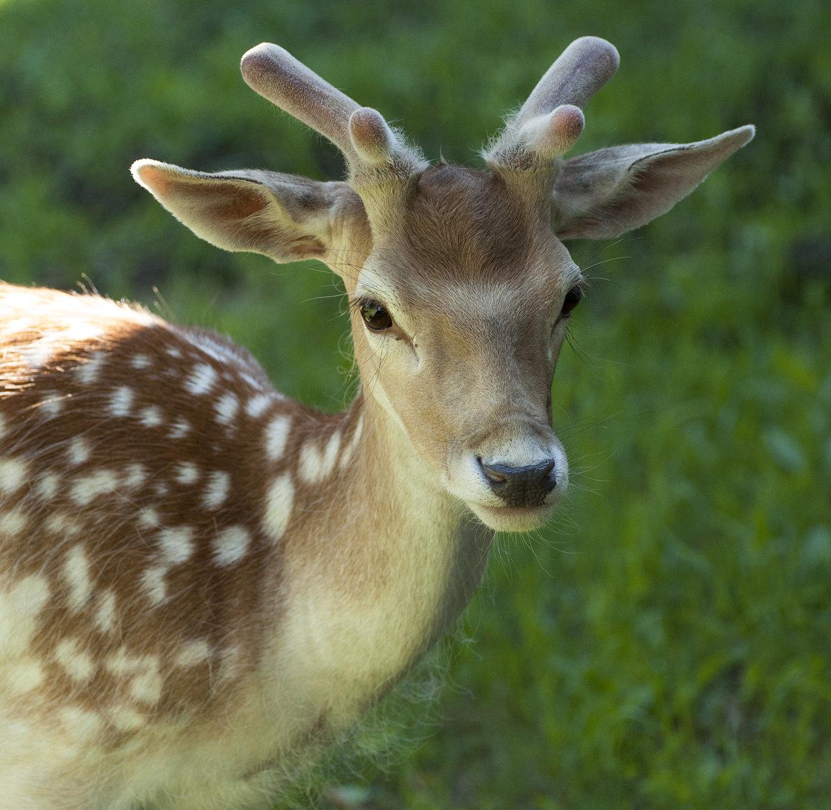 территории картинки животных лань хопкинс джоди