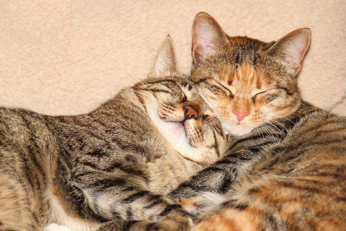 Картинки ласкающихся котиков