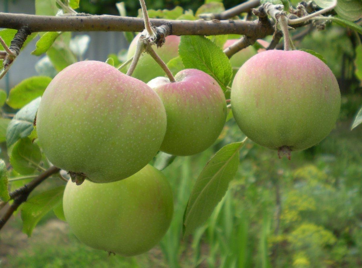 фотографирует яблоня мартовское фото описание его