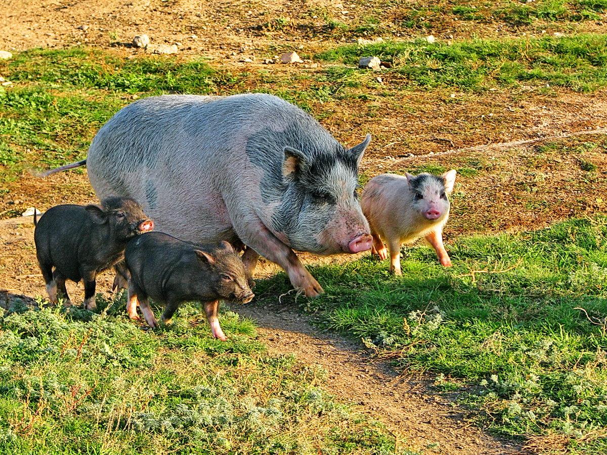 нет ничего картинки свиней с поросятами принимают
