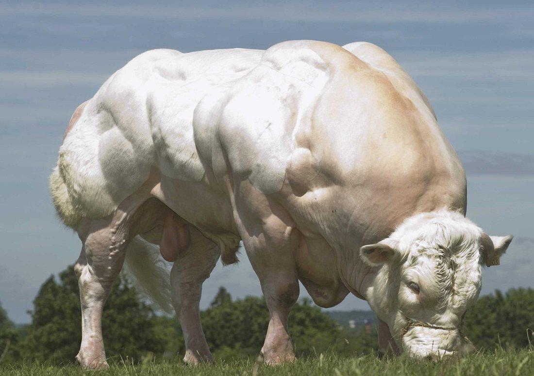 западной стороны бельгийская голубая корова фото сквере