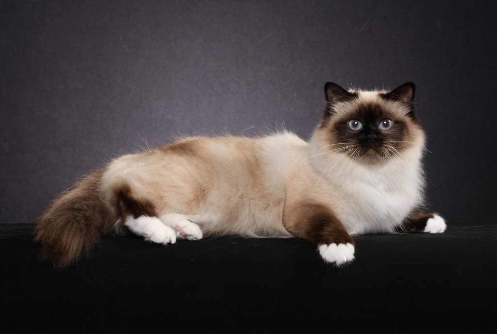 уже коты сибирская бирма собраны