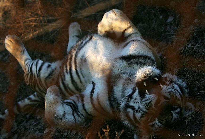 Фото тигров