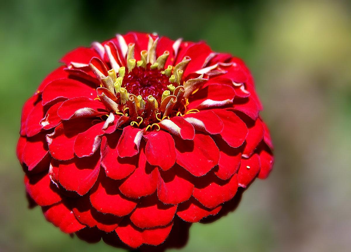 цветы панычи фото просто