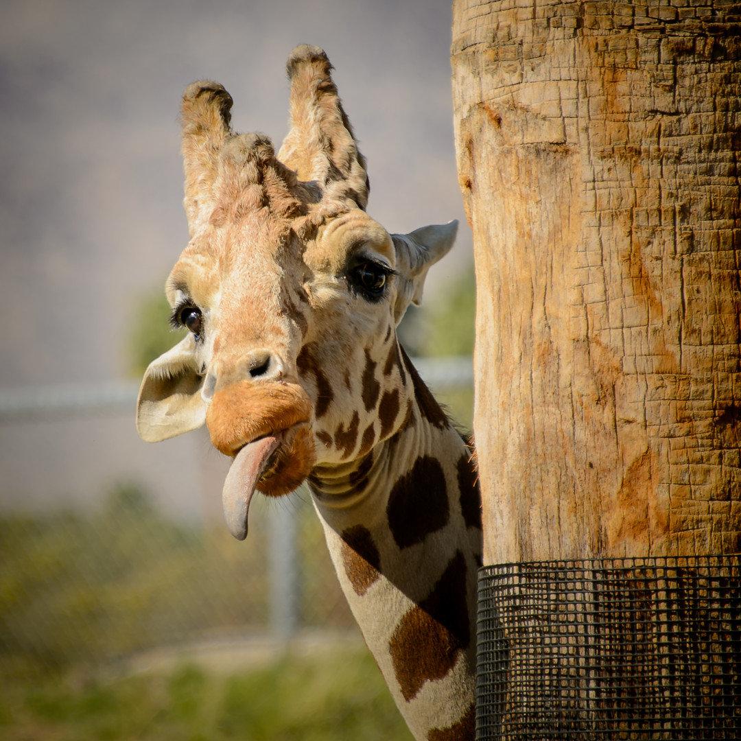 Жираф позирует