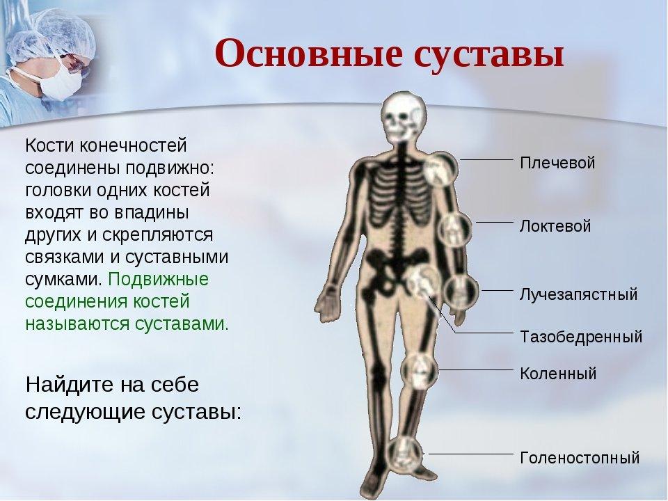 название костей и суставов в картинках очень любят болей