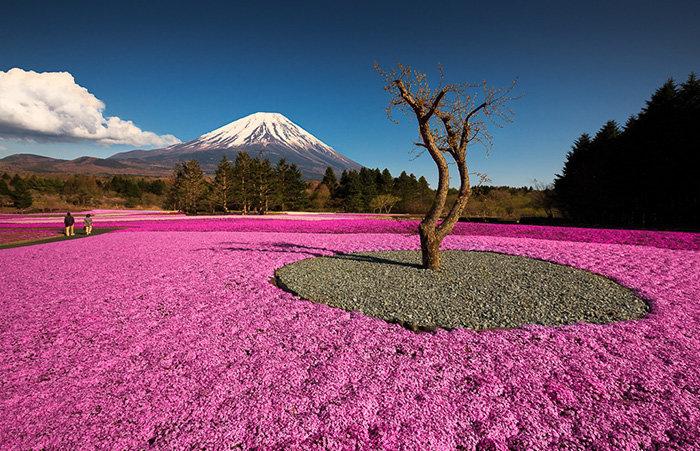 Япония, холм 400 000 розовых цветов.
