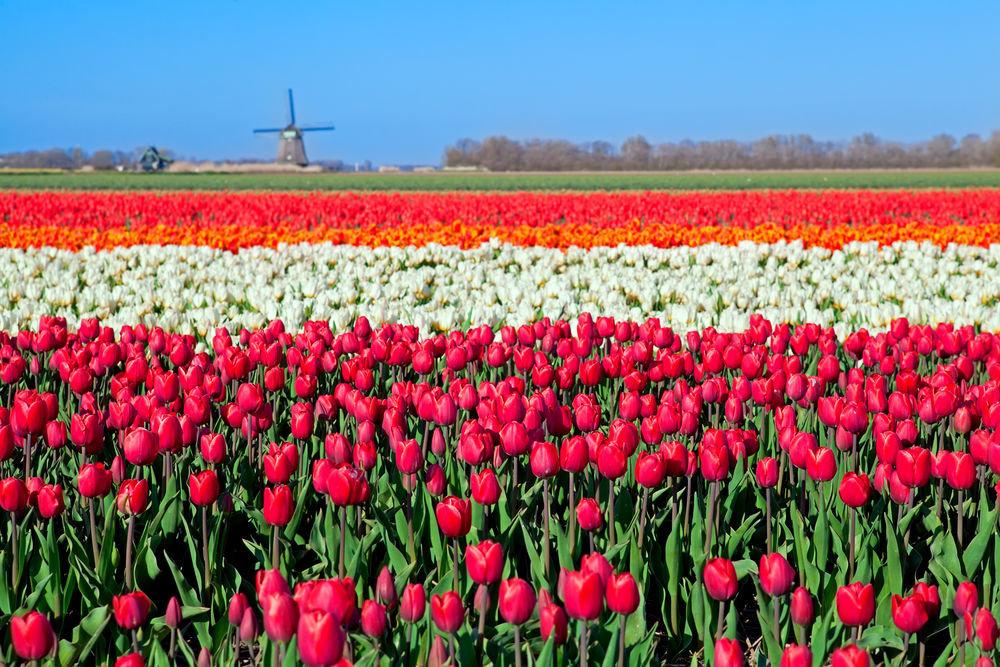 Женщине видеть мужчину с тюльпанами — быть отвержено после скоротечного любовного романа, к неприятностям и переживаниям.