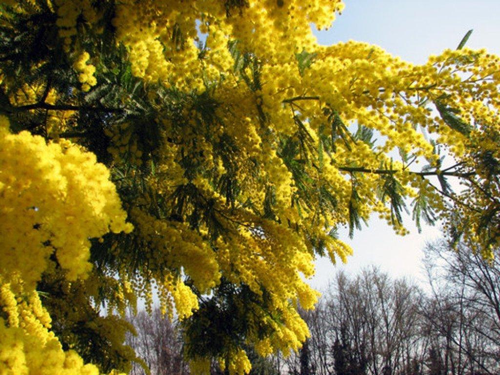 красивые весенние фото мимозы шадринске