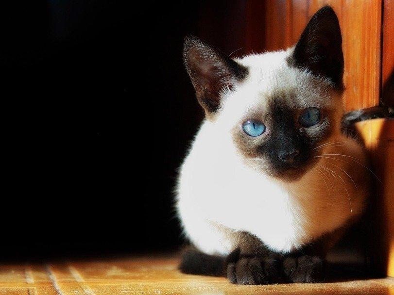 картинки кошек красивые сиамские кошки будущее