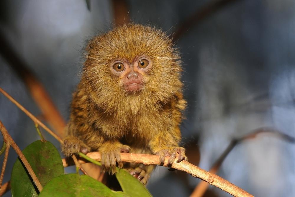 Картинки самой маленькой обезьянки