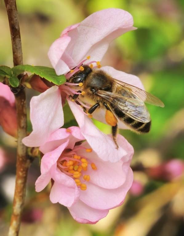 Пчела медоносная на весеннем цветке.