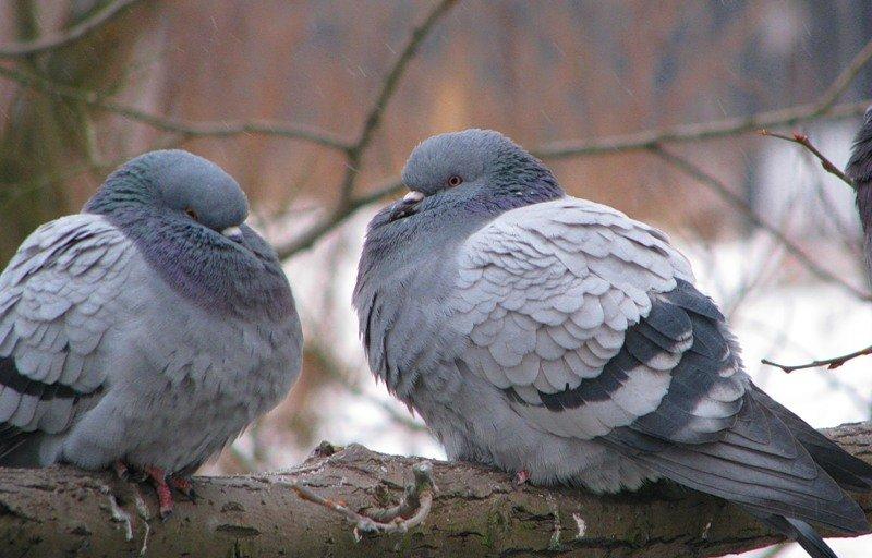 Картинки голубей ворон воробьев