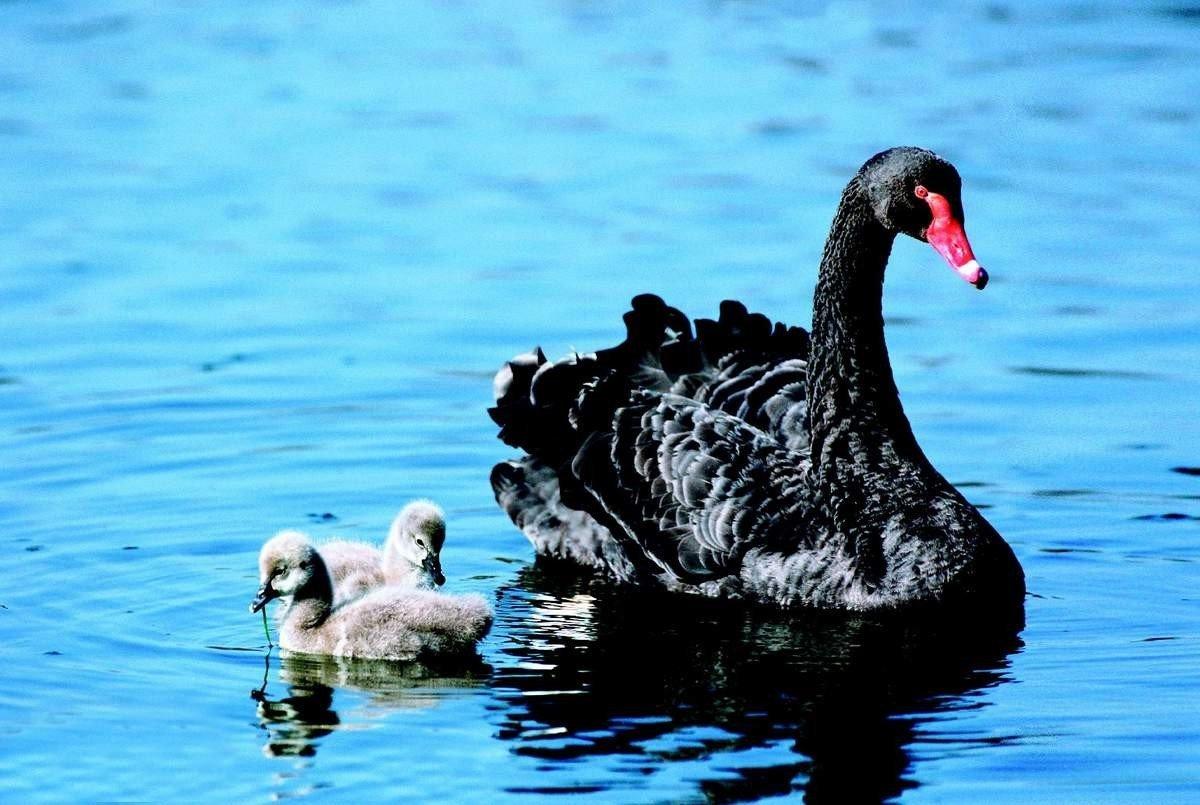 Черный лебедь птицы картинки