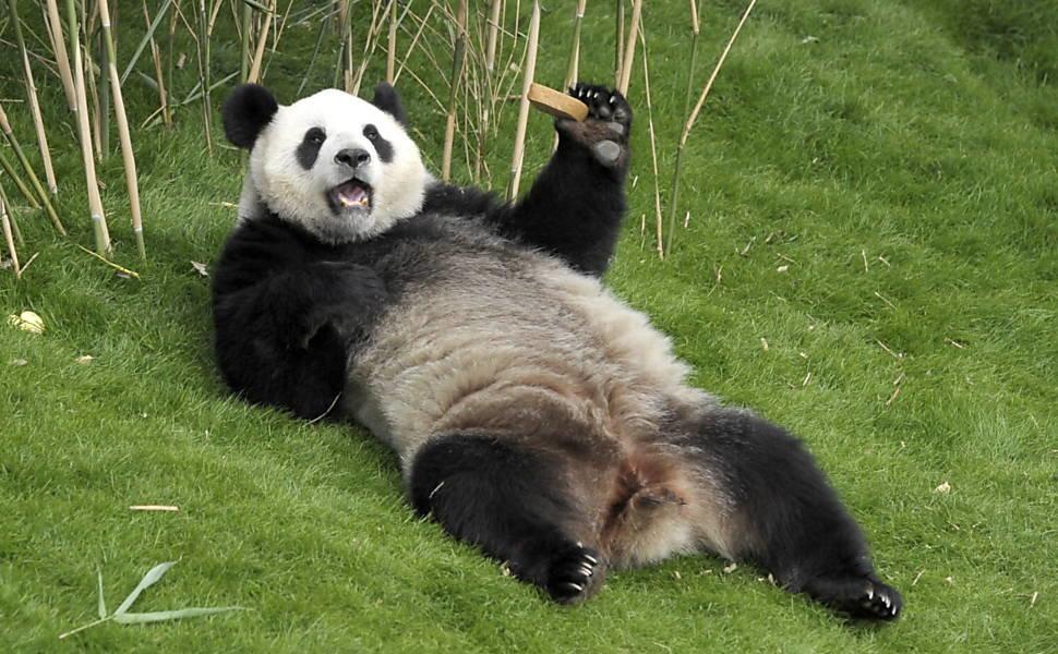 Панда прикольная картинки, открытки для