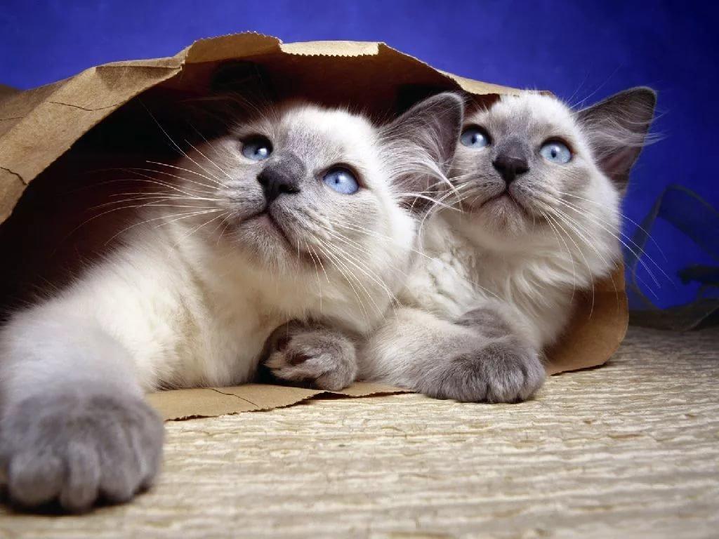 Бирманские котята играют с бумажным пакетом
