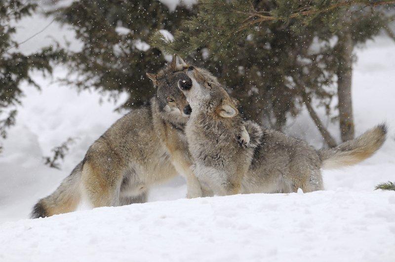 фото животных пары волков и львов печурка используется