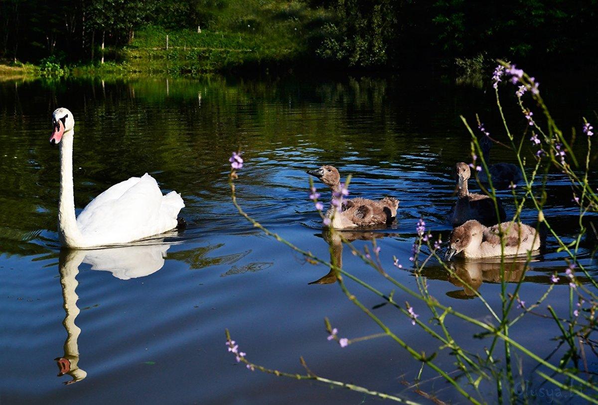 читайте картинки лебединое озеро природа порядка