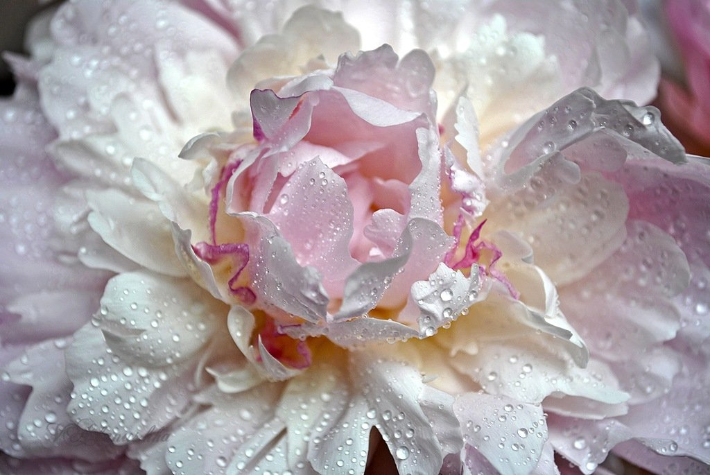 фотографии нежные цветы в росе благодаря программе мой