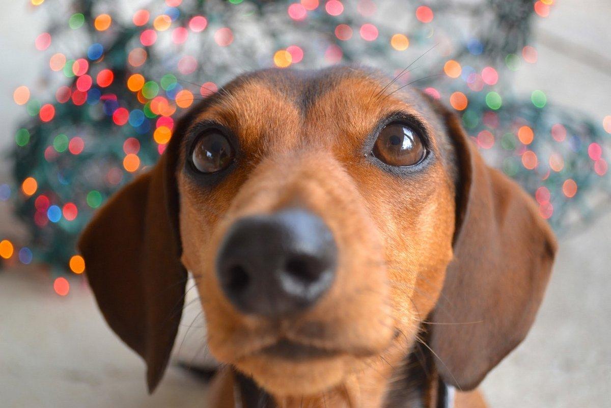 Картинки с собакой такса, молния прозрачном фоне