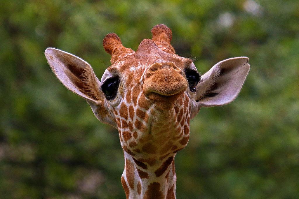 Картинка смешные жирафа, про
