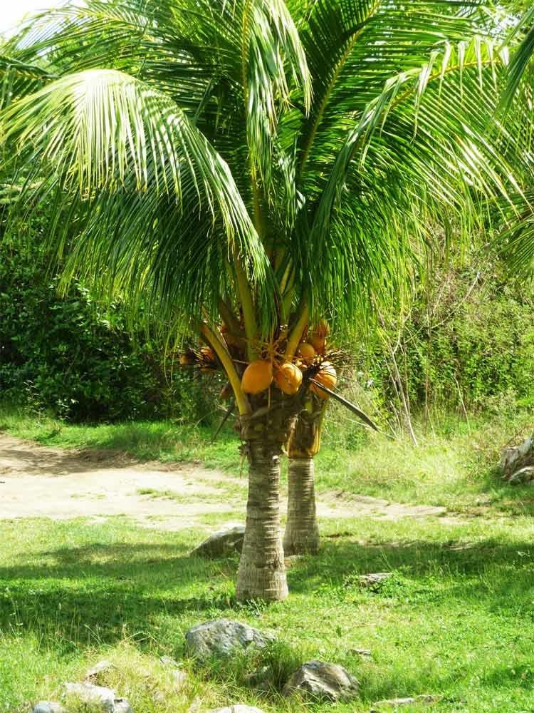 время картинки где растут кокосы охота ведьм