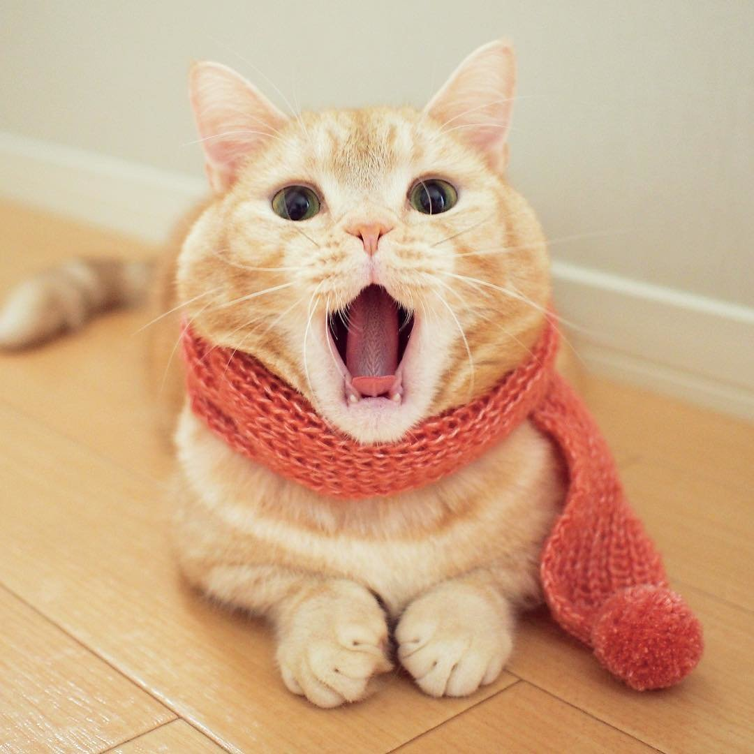 Манчкин в шарфе