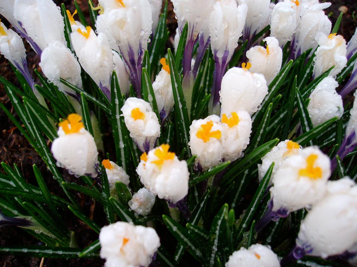 Весенние картинки тюльпаны мимоза подснежники