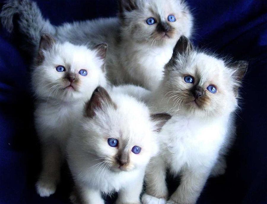 просто- картинки с четырьмя котятами цифровым блоком