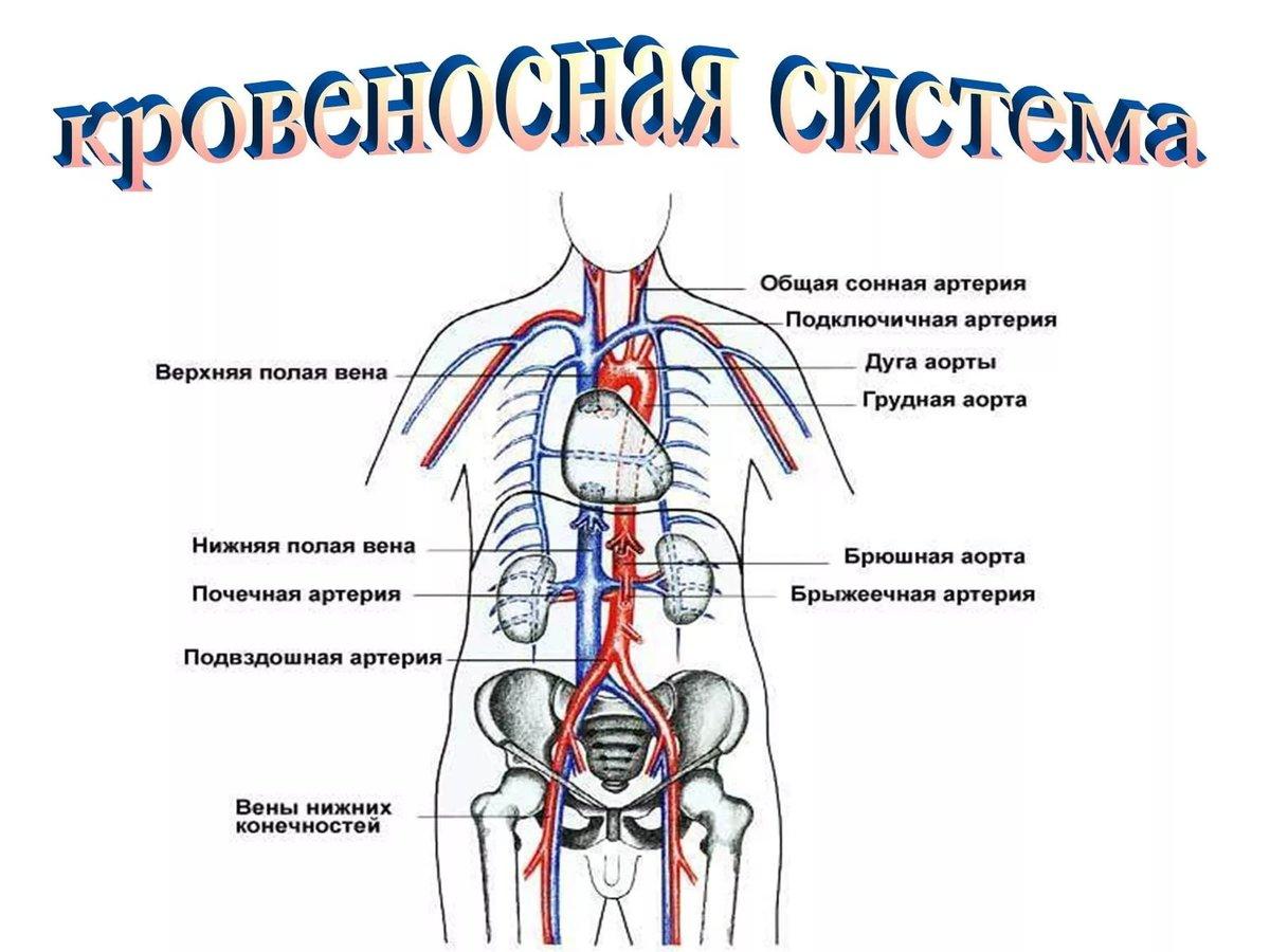 для схема кровеносной системы человека фото внимание фото ниже