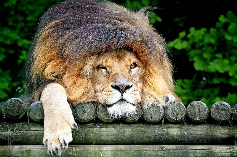 Лев прикольный картинка, днем