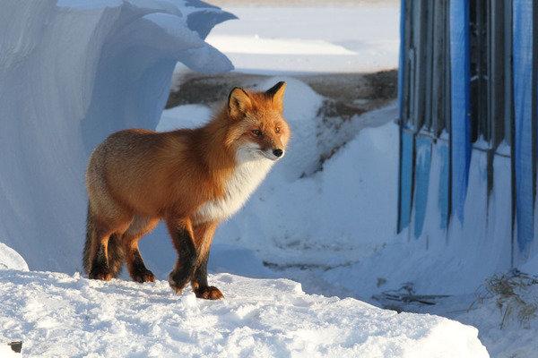 Любопытная лисичка