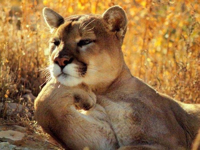 Картинки львица прикольные