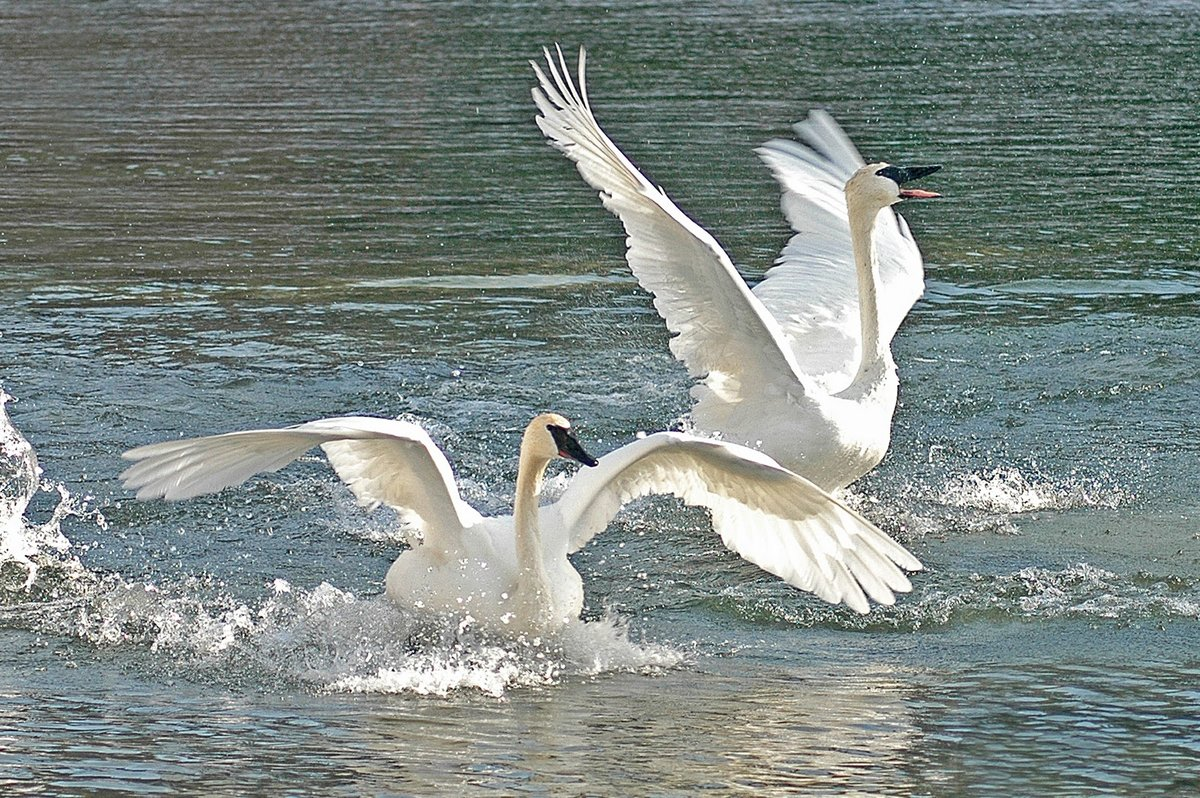 Фото лебедей видео #11