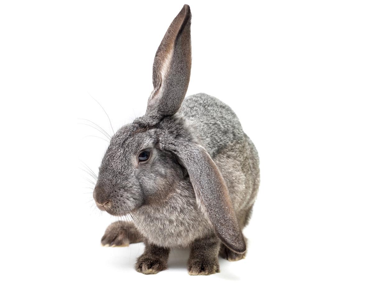 Картинка серого зайчика