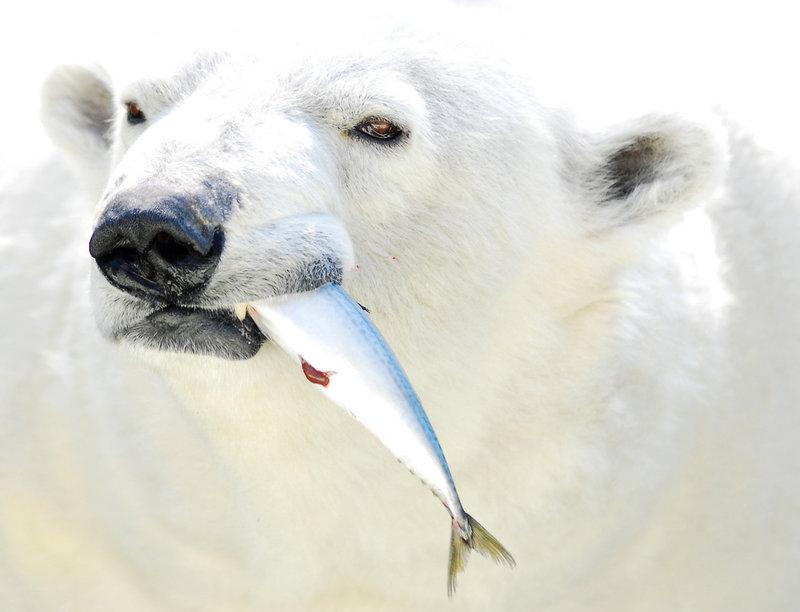 Белые медведи (лат. Ursus maritimus), фотографии белых медведей