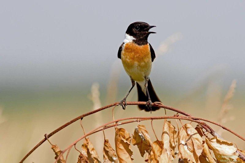 Черноголовый чекан - Фото птиц  - Фото птиц - Фото птиц