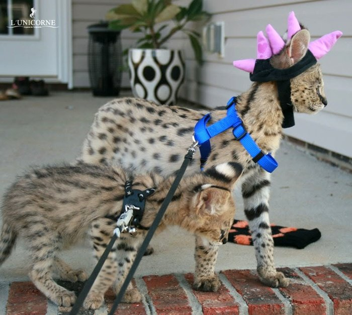Домашний Сервал (domestic Serval)