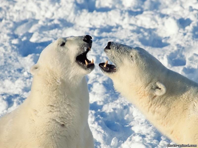 фото белого медведя в арктике - Медведь  - Фотоальбомы - Животные картинки фото