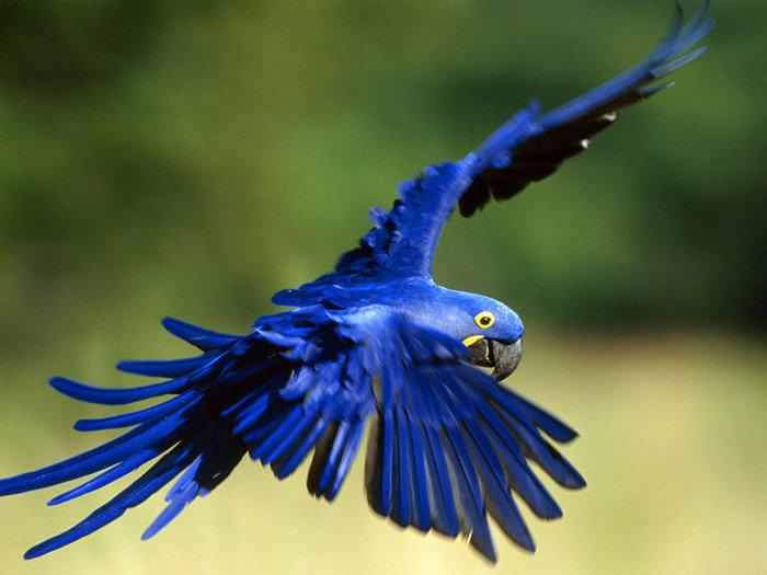 Самые ценные и редкие птицы. Голубой ара
