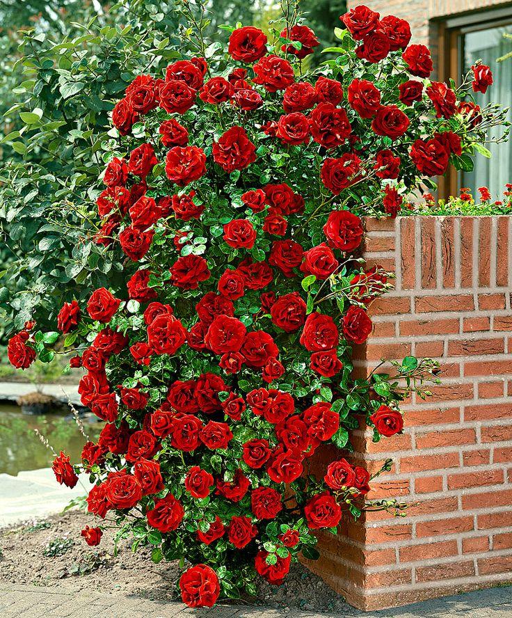 шпалерные розы фото сердечке