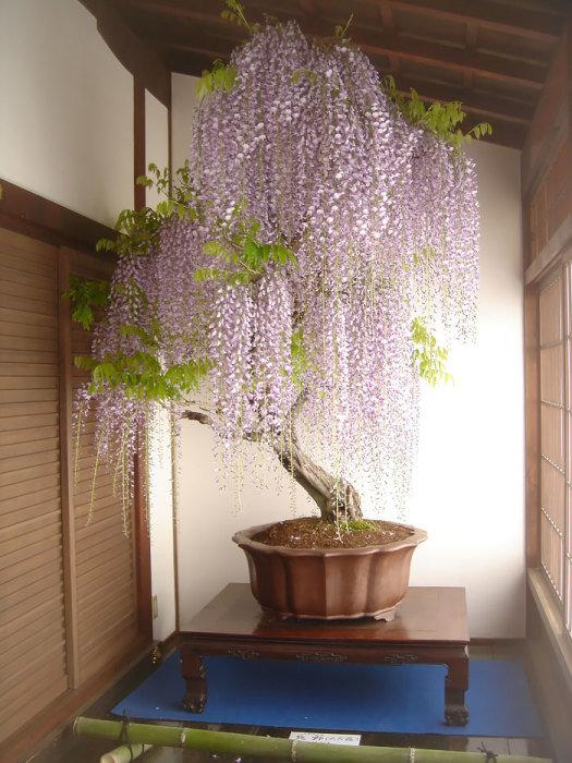 глициния дерево красавица