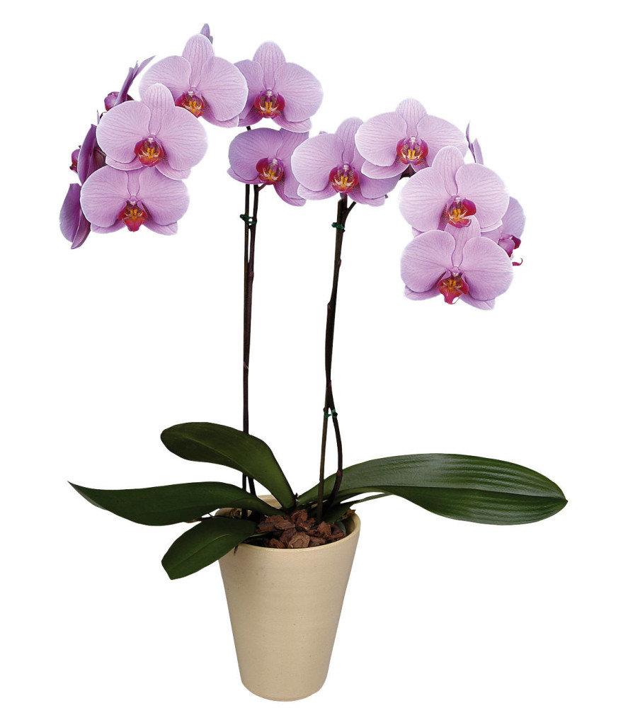 Цветы орхидею онлайн купить киев