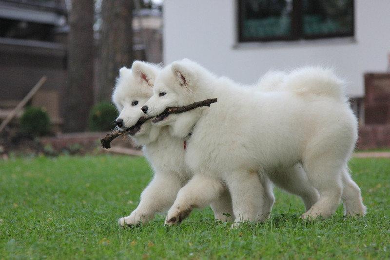Самоед щенки - подарок на новый год ! в Иркутске - Животные / Собаки