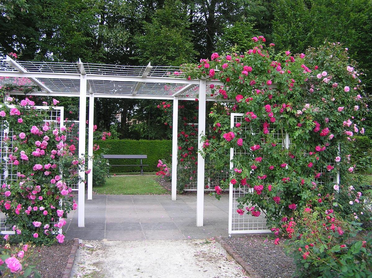 шпалерные розы фото группа заболеваний, которая
