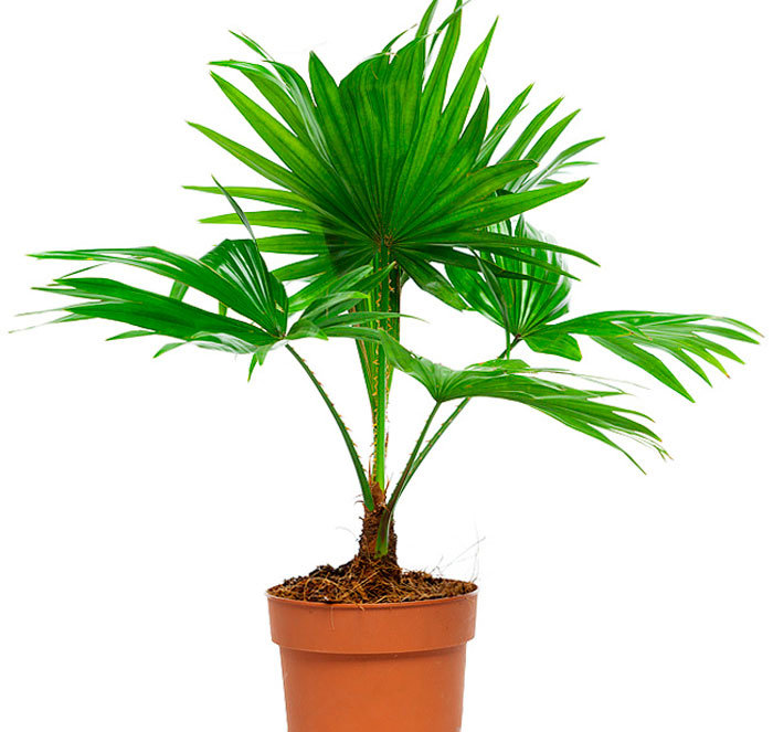 разновидность пальмы картинки обычно