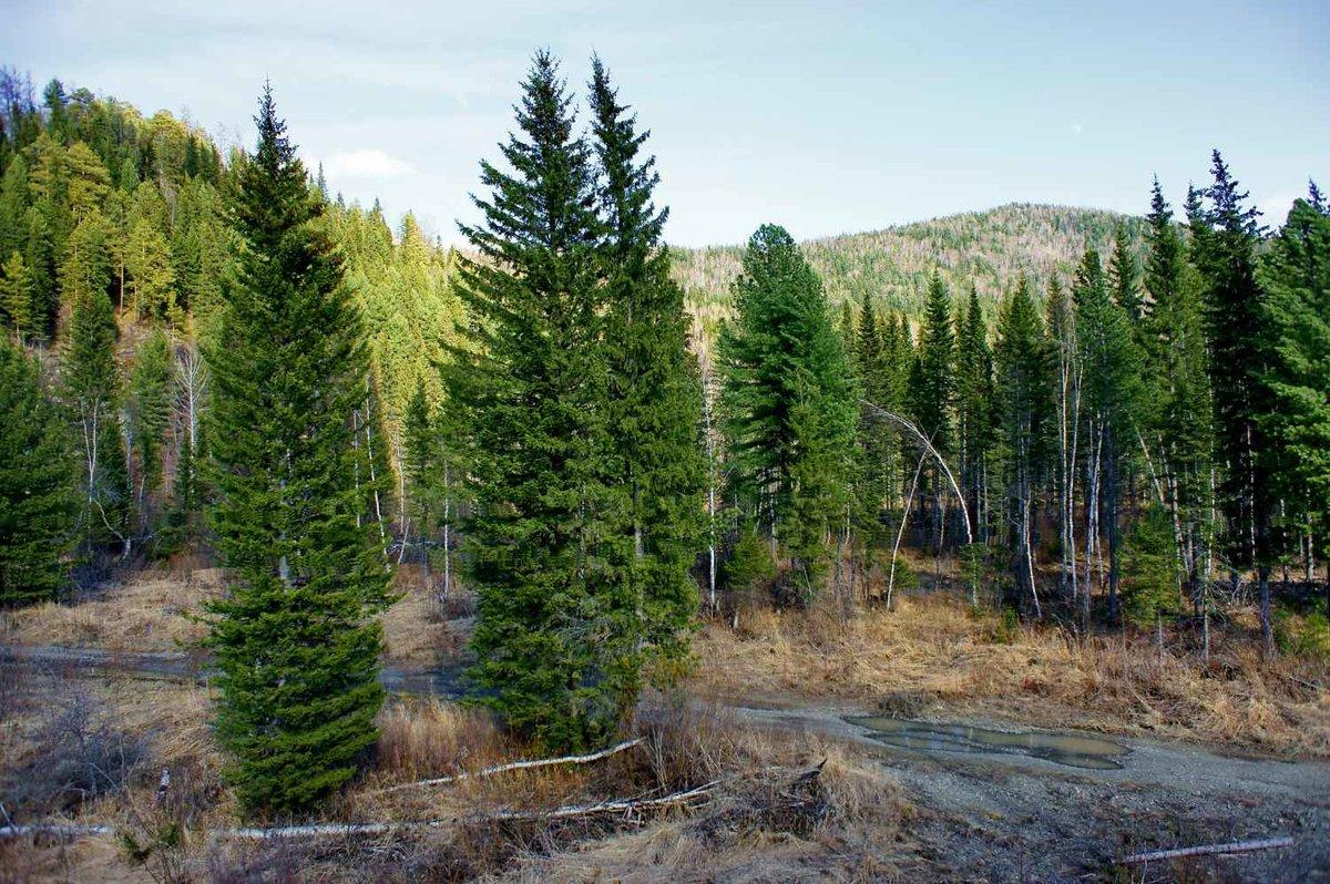 Леса в картинках ель